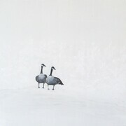 Geese on White